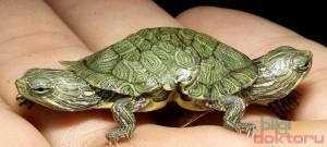 mutasyona-ugramis-kaplumbaga